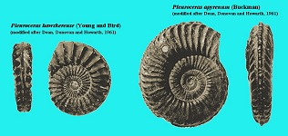 Ammonites - species of Pleuroceras, Middle Lias