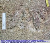 Two superimposed dinosaur footprints of theropod type