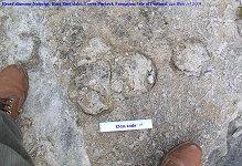 Very broad-toed dinosaur footprint, Hard Slatt, Isle of Portland