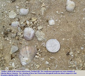 Shells of Littorina in the Portland raised beach