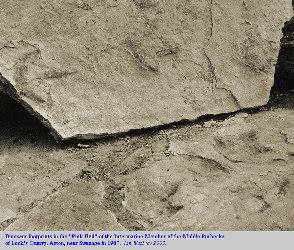 Dinosaur tracks found in the Middle Purbeck strata at Lock's Quarry, Acton, near Swanage, Dorset in 1967