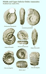 Ammonites of the Middle and Upper Inf. Oolite