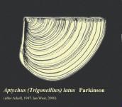 Aptychus latus, an ammonite aptychus