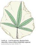 Aralia leaf reconstruction