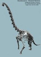 Brachiosaurus skeleton