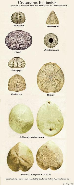 Cretaceous echinoids