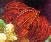 Pentacrinus fossilis