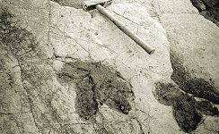 A broad-toed Dinosaur footprint in the Intermarine Member at Worbarrow Tout, 1978