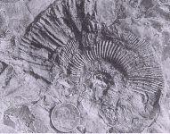 Subplanites cf grandis  - ammonite