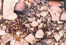 Dead sand-hoppers