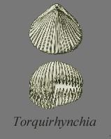 Torquirhychia inconstans