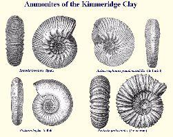Ammonites of Kimmeridge Clay