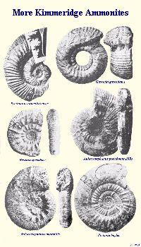 More ammonites of the Kimmeridge Clay