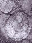 Pectinatites cf. nasutus  - ammonite