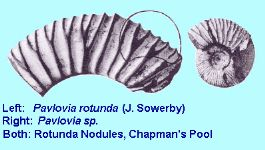 Pavlovia rotunda - ammonite