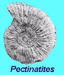 Pectinatites - ammonite