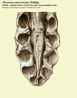 Pliosaurus macromerus skull -details