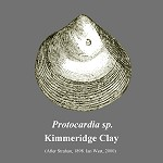 Protocardia sp.