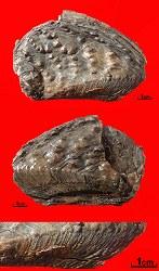 Bivalve from the Kimmeridge Clay - Myophorella