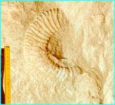 Ammonite in oolite