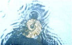 Crushed ammonite under water